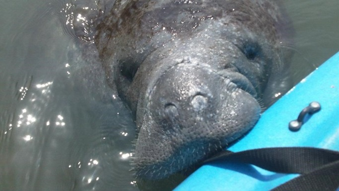 Curious Manatee on the Merritt Island National Wildlife Reserve
