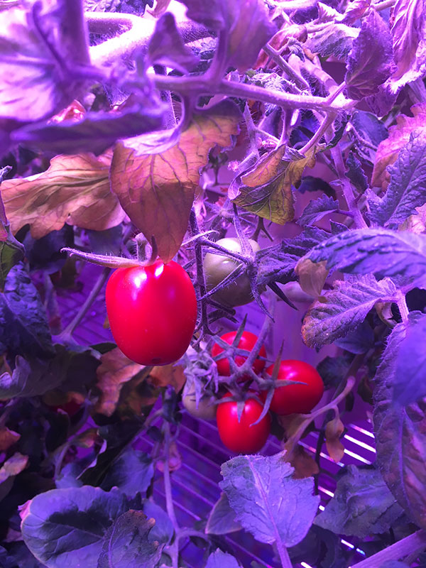 A close up of a tomato plant with ripe tomatoes from the TomatoSphere project at the Mars Base 1 Lab at the Kennedy Space Center Visitor Complex.