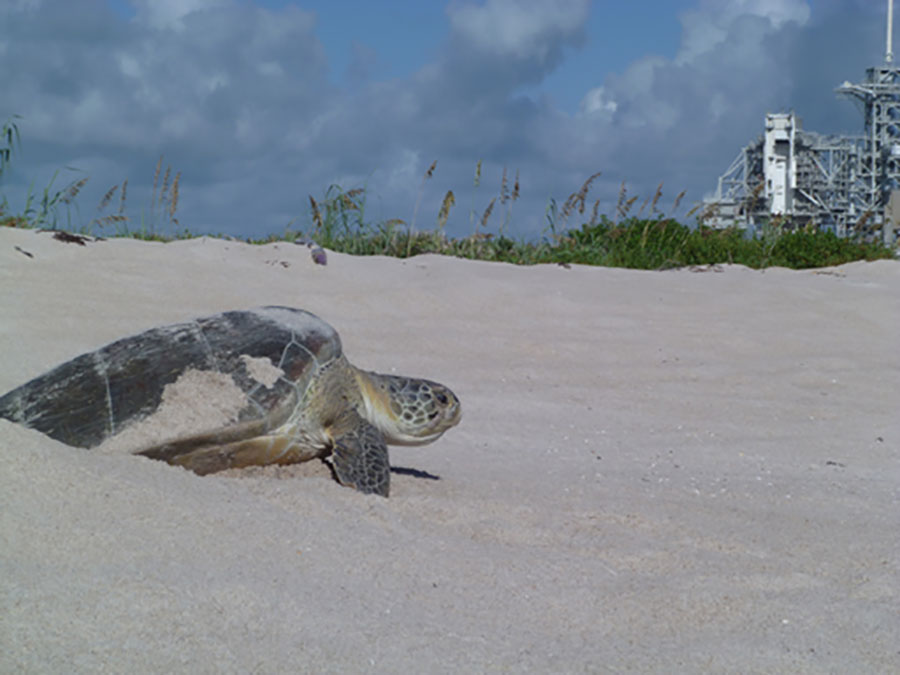 Sea turtles nest on the shores of Kennedy Space Center and the Merritt Island National Wildlife Refuge.