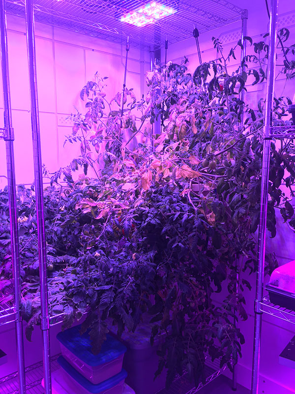 A full sized tomato plant from the TomatoSphere project at the Mars Base 1 Lab at the Kennedy Space Center Visitor Complex.